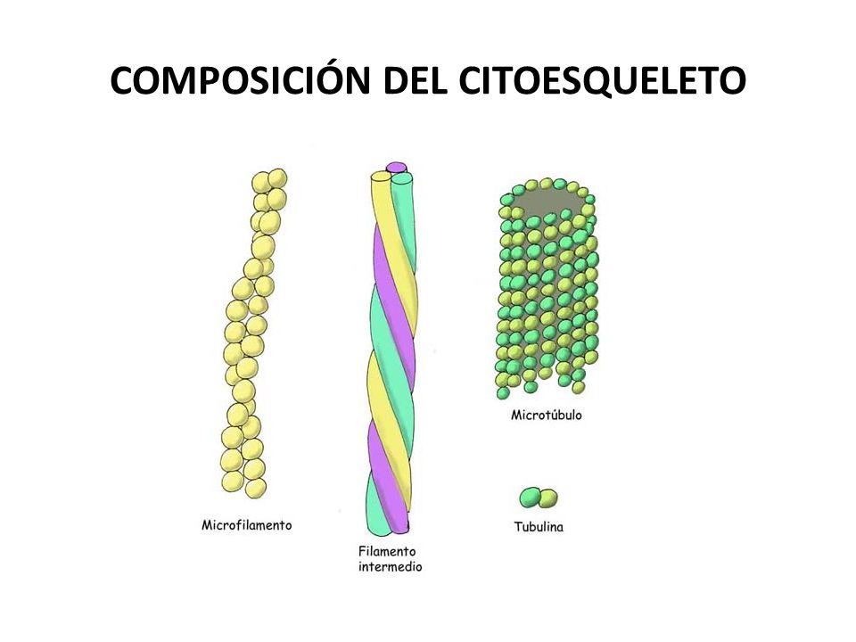 COMPOSICIÓN DEL CITOESQUELETO