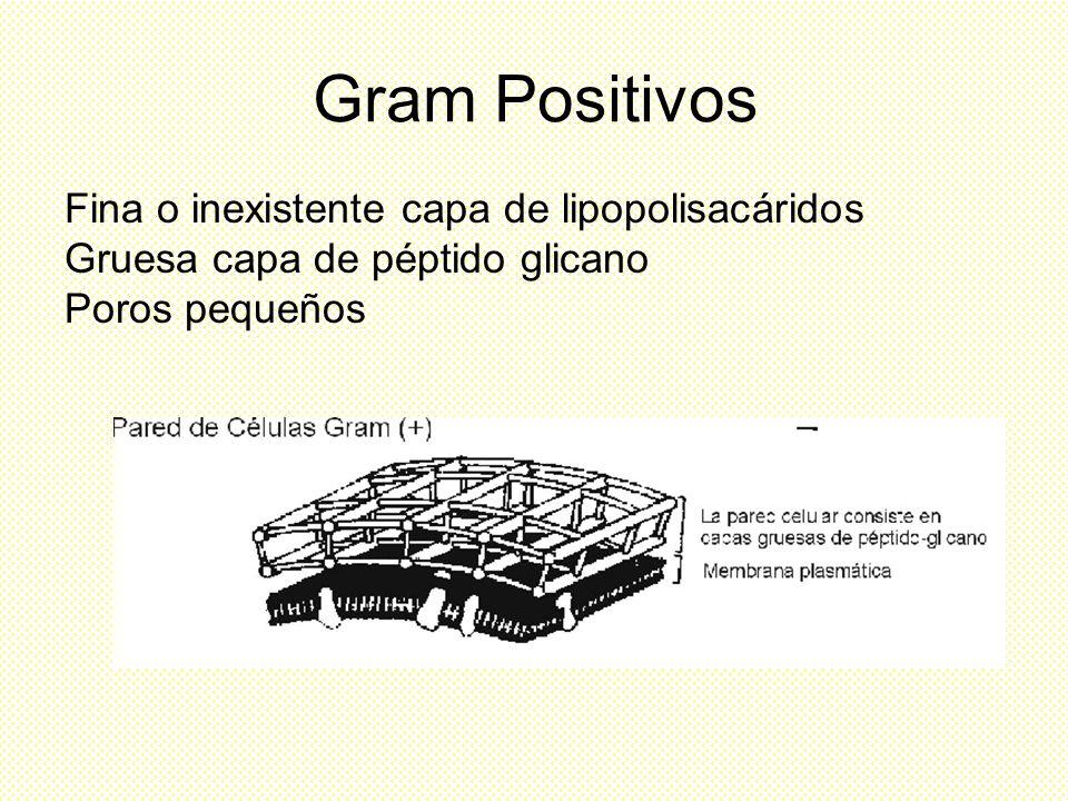 Gram Positivos Fina o inexistente capa de lipopolisacáridos