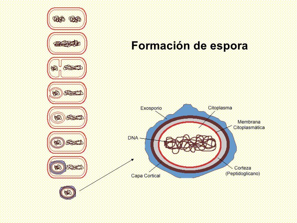 Formación de espora