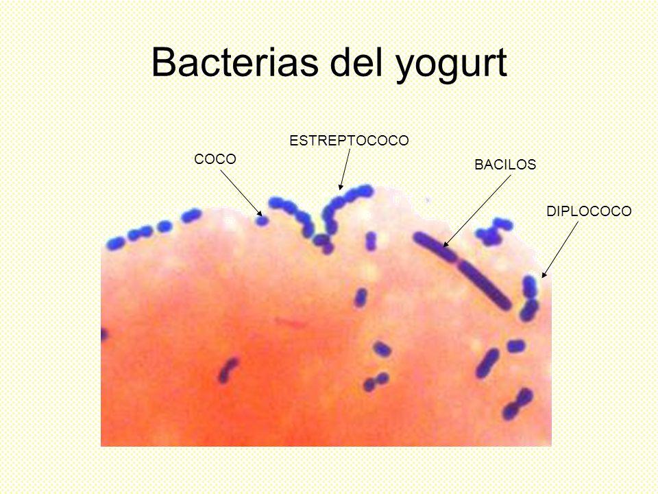 Bacterias del yogurt ESTREPTOCOCO COCO BACILOS DIPLOCOCO