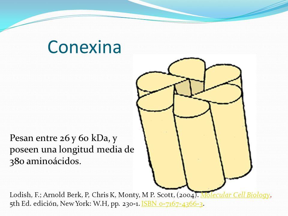 Conexina Pesan entre 26 y 60 kDa, y poseen una longitud media de 380 aminoácidos.