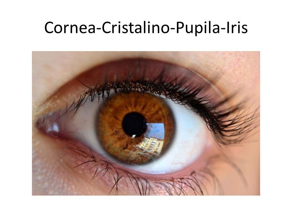 Cornea-Cristalino-Pupila-Iris