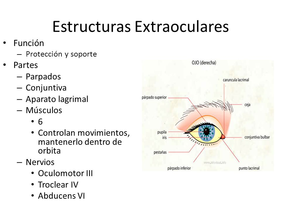 Estructuras Extraoculares