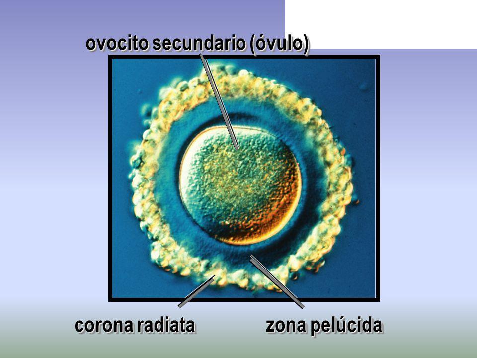 ovocito secundario (óvulo)