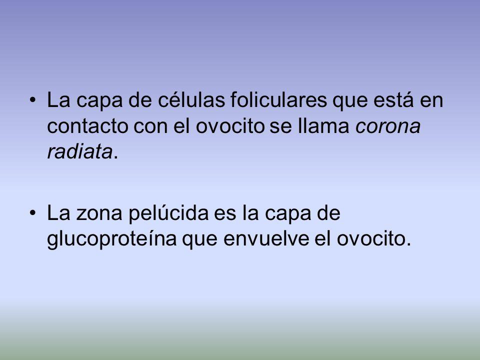 La capa de células foliculares que está en contacto con el ovocito se llama corona radiata.