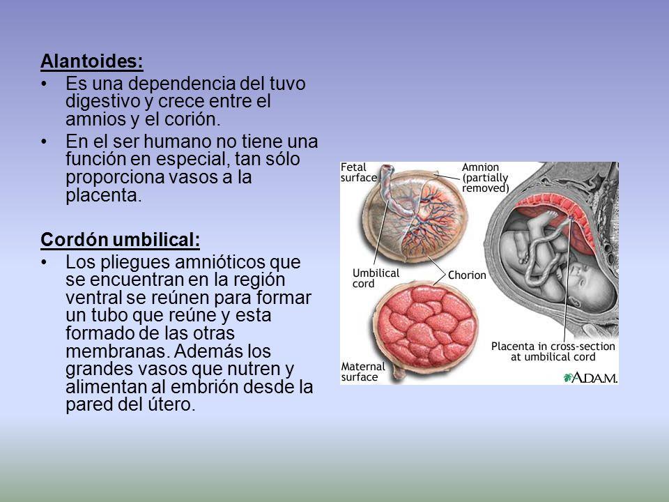 Alantoides: Es una dependencia del tuvo digestivo y crece entre el amnios y el corión.