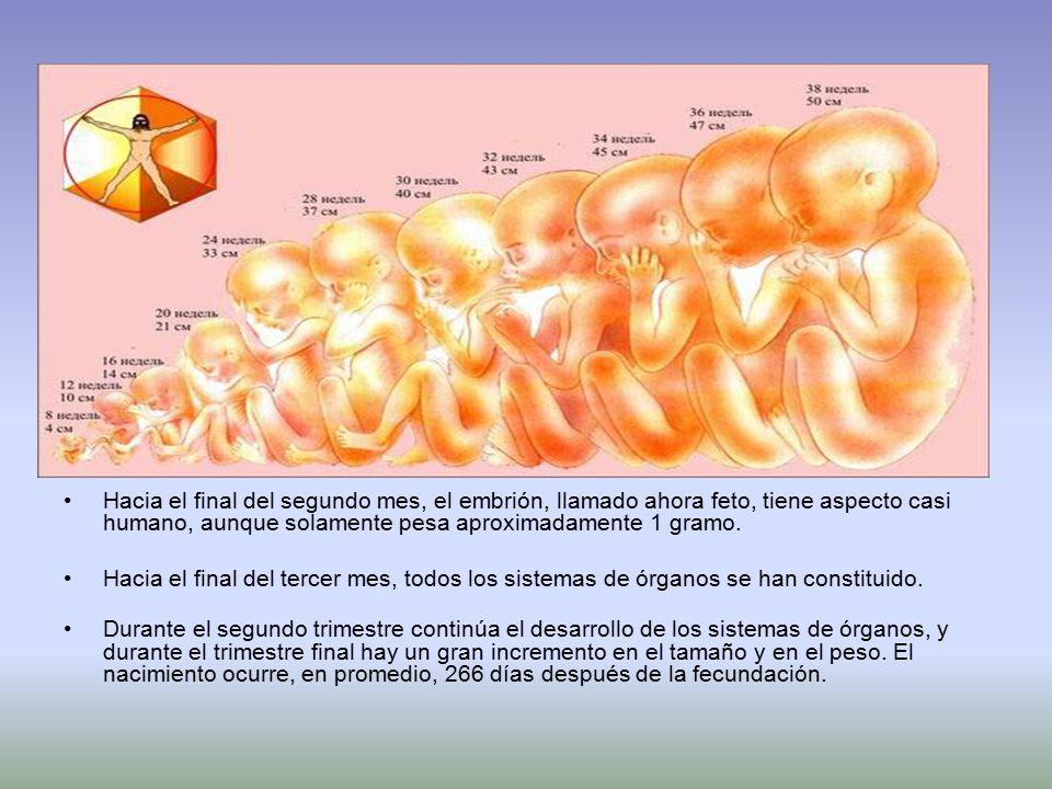 Hacia el final del segundo mes, el embrión, llamado ahora feto, tiene aspecto casi humano, aunque solamente pesa aproximadamente 1 gramo.