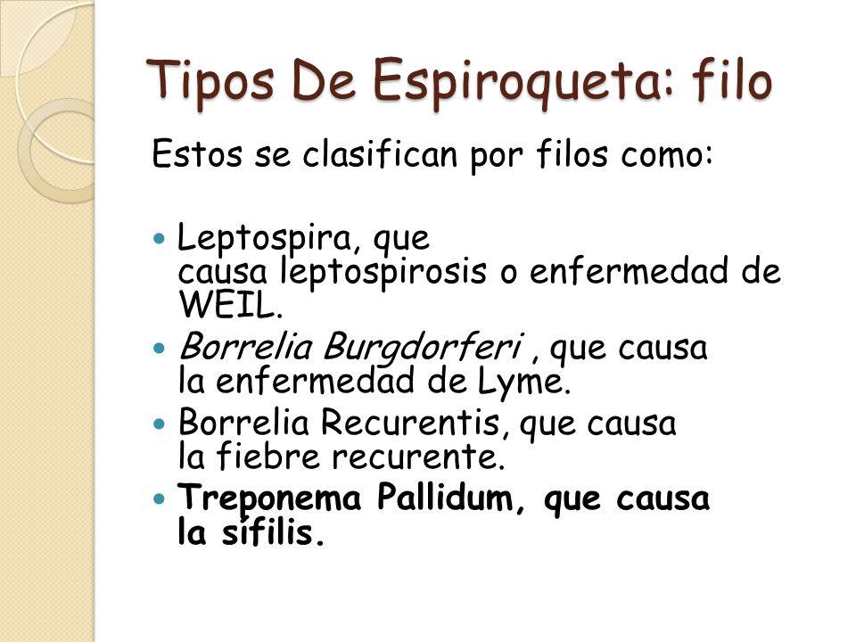 Tipos De Espiroqueta: filo