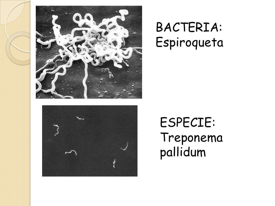 BACTERIA: Espiroqueta