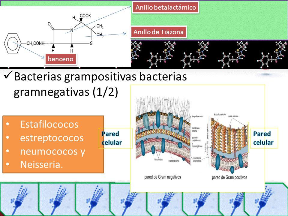 Bacterias grampositivas bacterias gramnegativas (1/2)