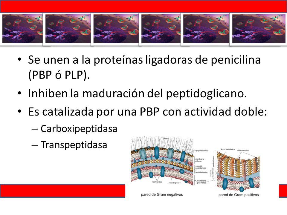 Se unen a la proteínas ligadoras de penicilina (PBP ó PLP).
