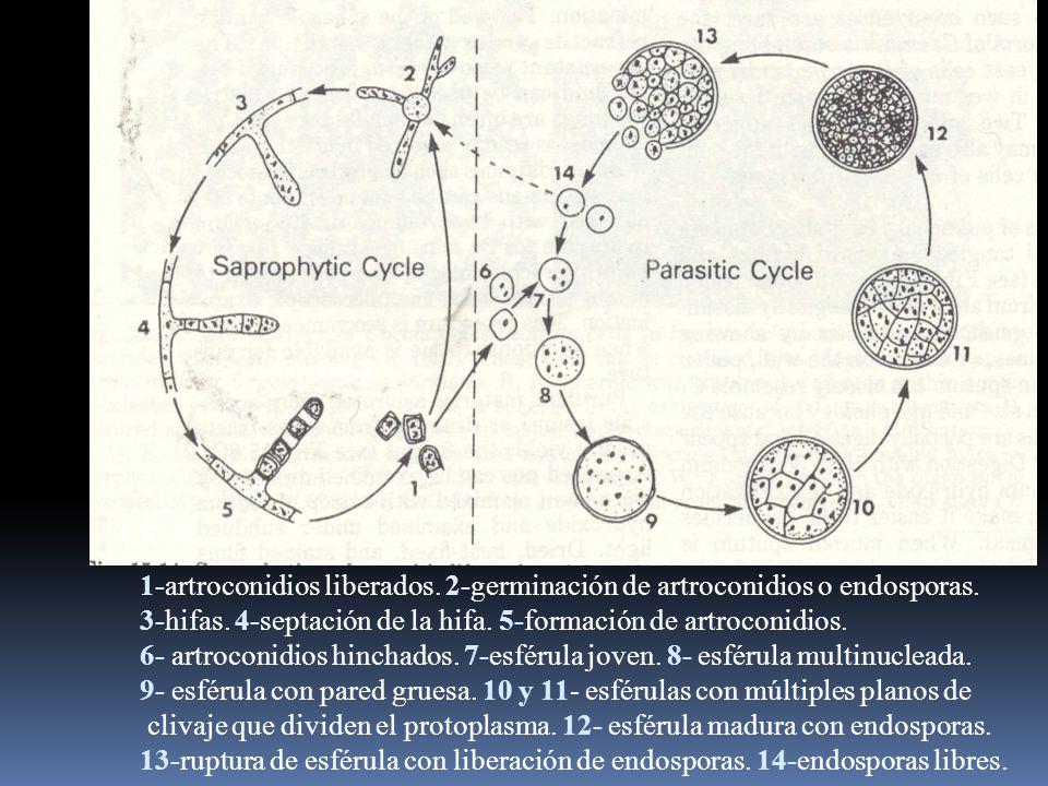 1-artroconidios liberados. 2-germinación de artroconidios o endosporas.