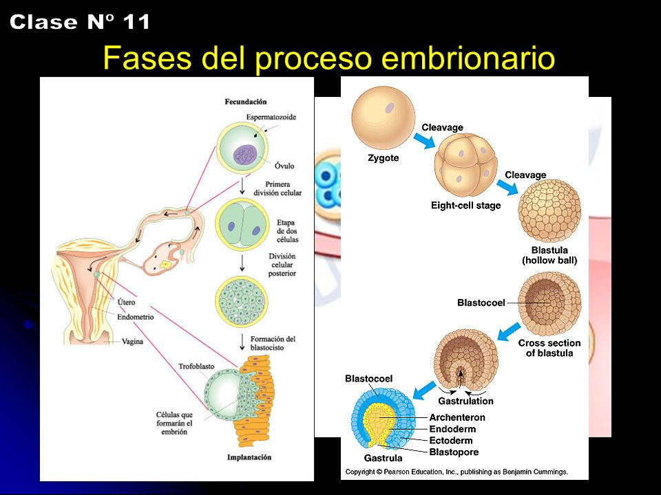 Clase Nº 11 Fases del proceso embrionario