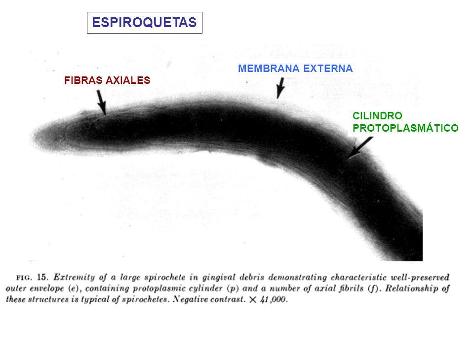 ESPIROQUETAS CILINDRO PROTOPLASMÁTICO MEMBRANA EXTERNA FIBRAS AXIALES