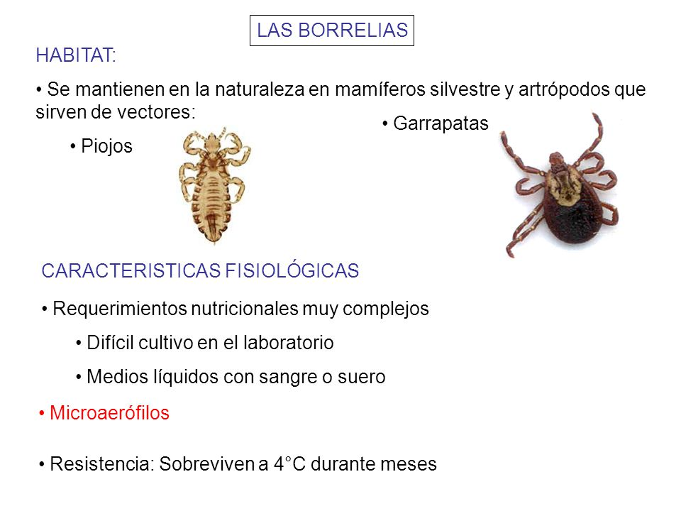 LAS BORRELIAS HABITAT: Se mantienen en la naturaleza en mamíferos silvestre y artrópodos que sirven de vectores: