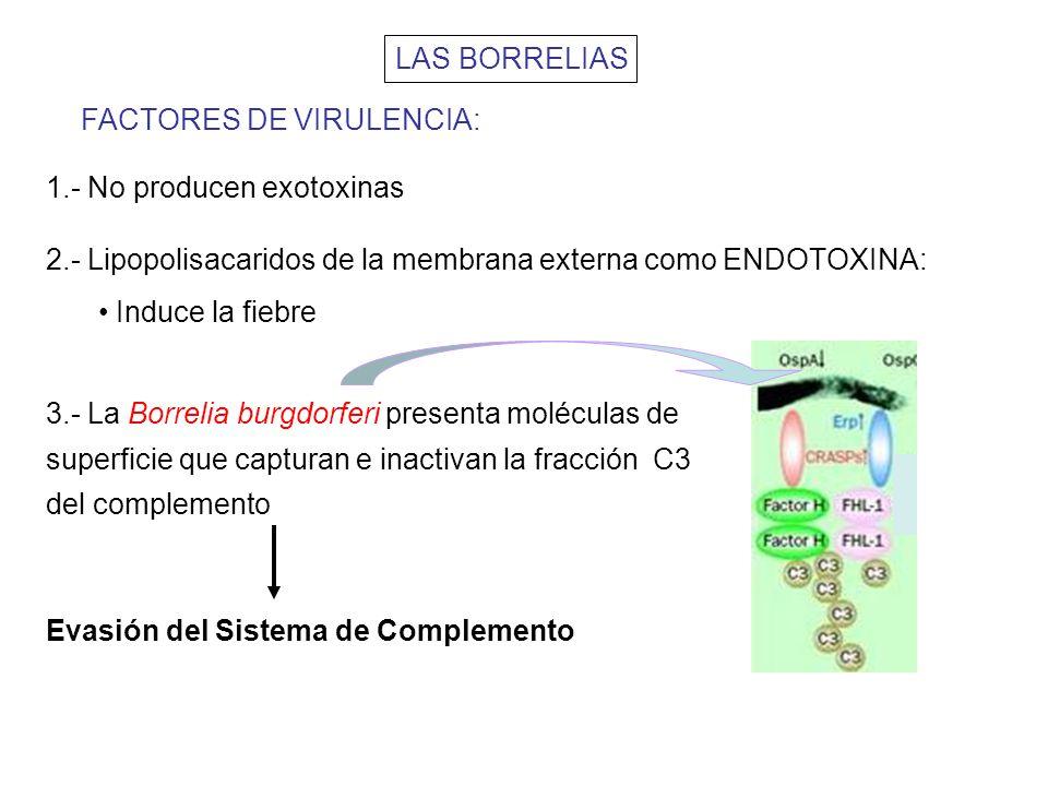 LAS BORRELIAS FACTORES DE VIRULENCIA: 1.- No producen exotoxinas. 2.- Lipopolisacaridos de la membrana externa como ENDOTOXINA: