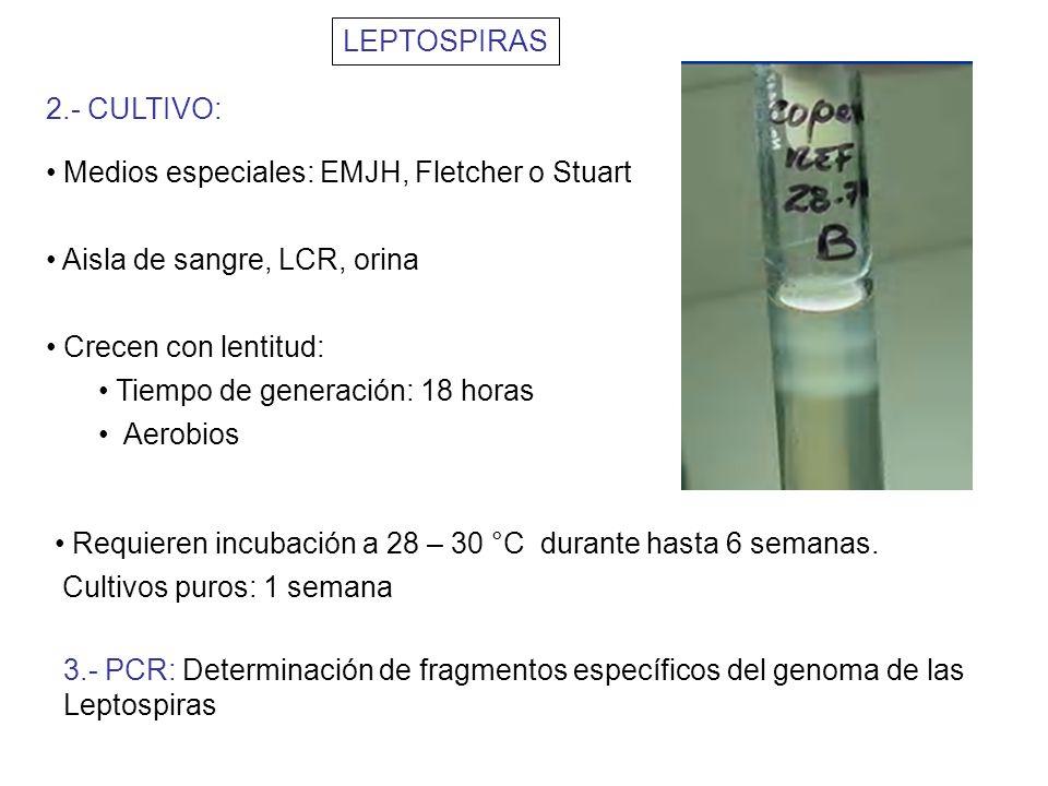 LEPTOSPIRAS 2.- CULTIVO: Medios especiales: EMJH, Fletcher o Stuart. Aisla de sangre, LCR, orina.