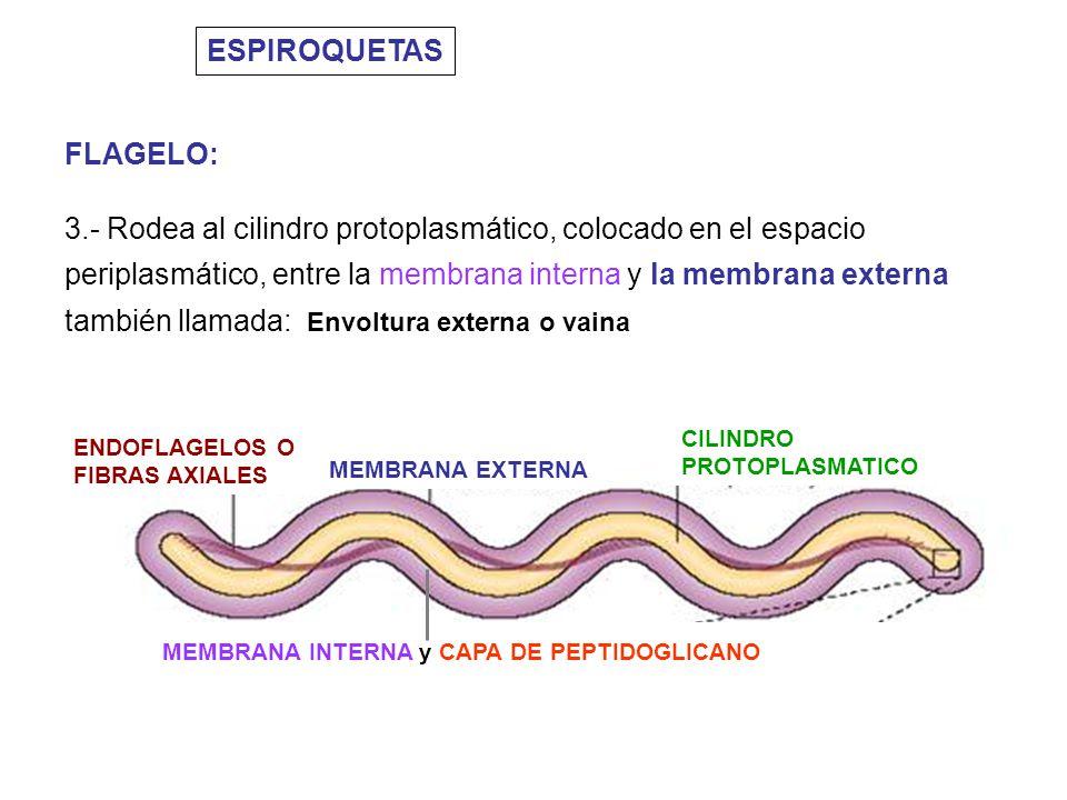 ESPIROQUETAS FLAGELO: