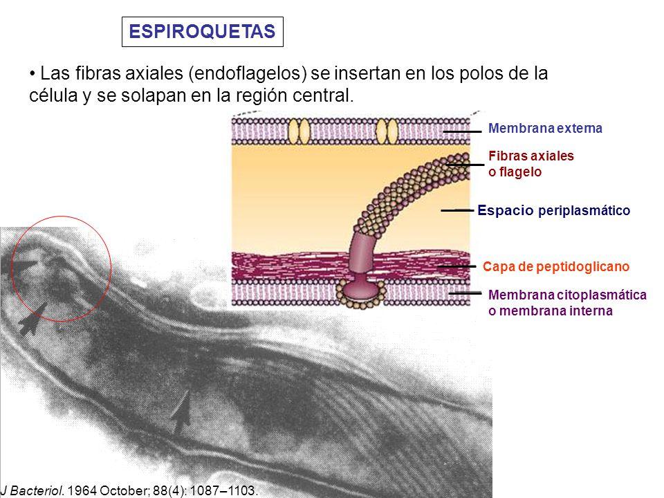 ESPIROQUETAS Las fibras axiales (endoflagelos) se insertan en los polos de la célula y se solapan en la región central.