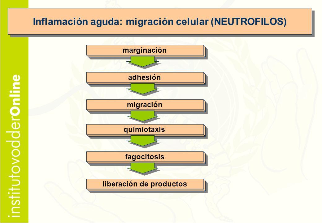 Inflamación aguda: migración celular (NEUTROFILOS)