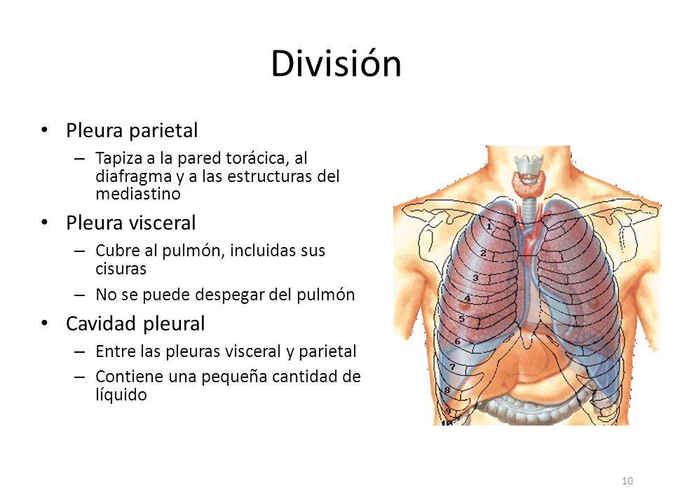 División Pleura parietal Pleura visceral Cavidad pleural