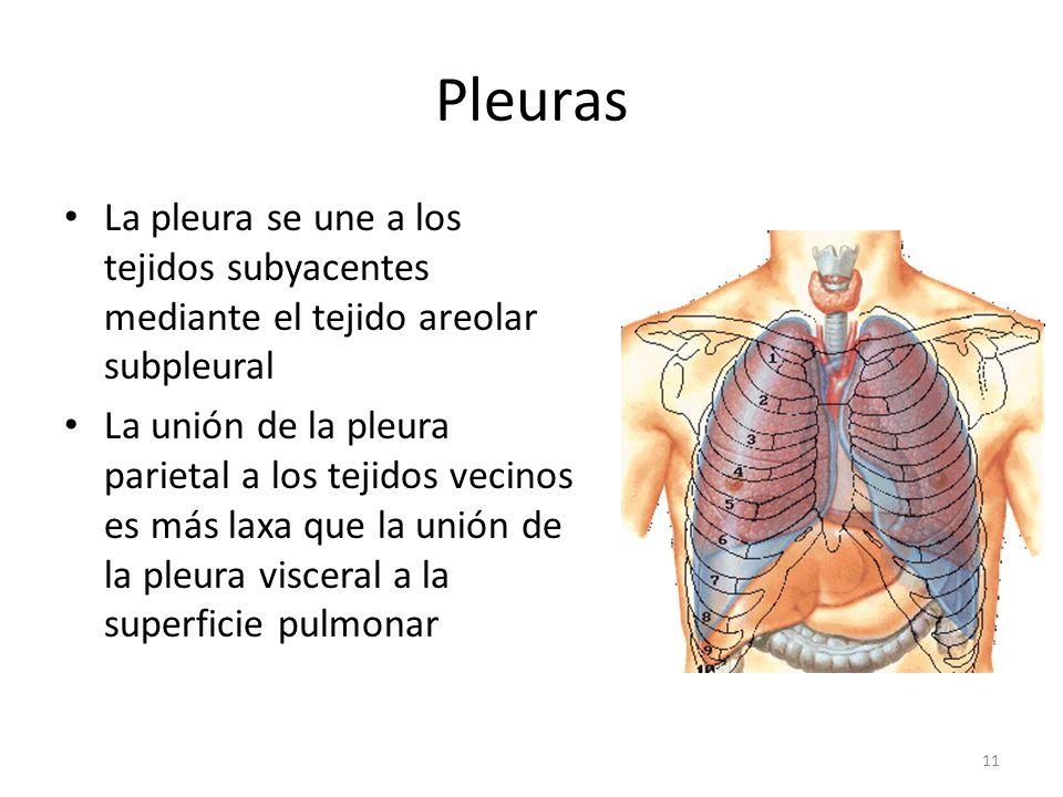 Pleuras La pleura se une a los tejidos subyacentes mediante el tejido areolar subpleural.