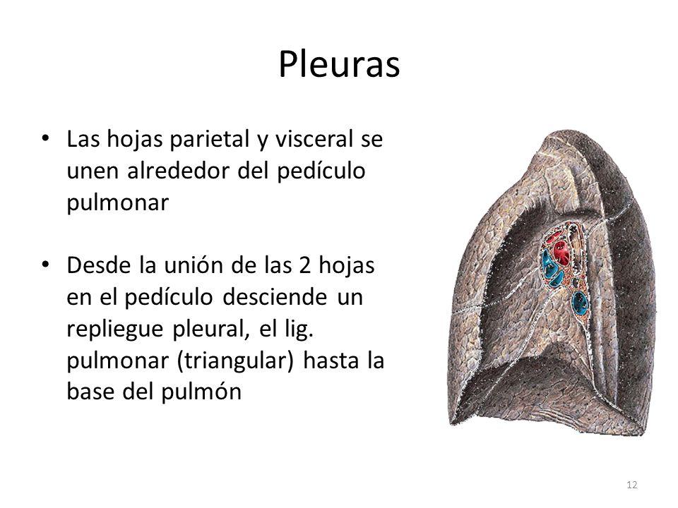 Pleuras Las hojas parietal y visceral se unen alrededor del pedículo pulmonar.