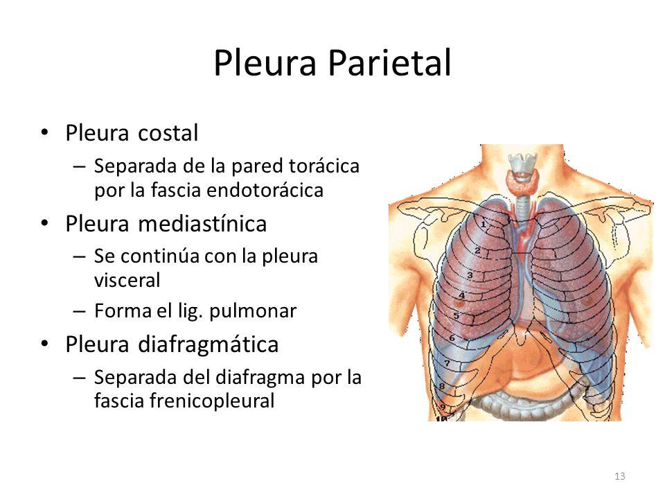 Pleura Parietal Pleura costal Pleura mediastínica Pleura diafragmática
