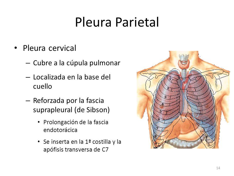 Pleura Parietal Pleura cervical Cubre a la cúpula pulmonar