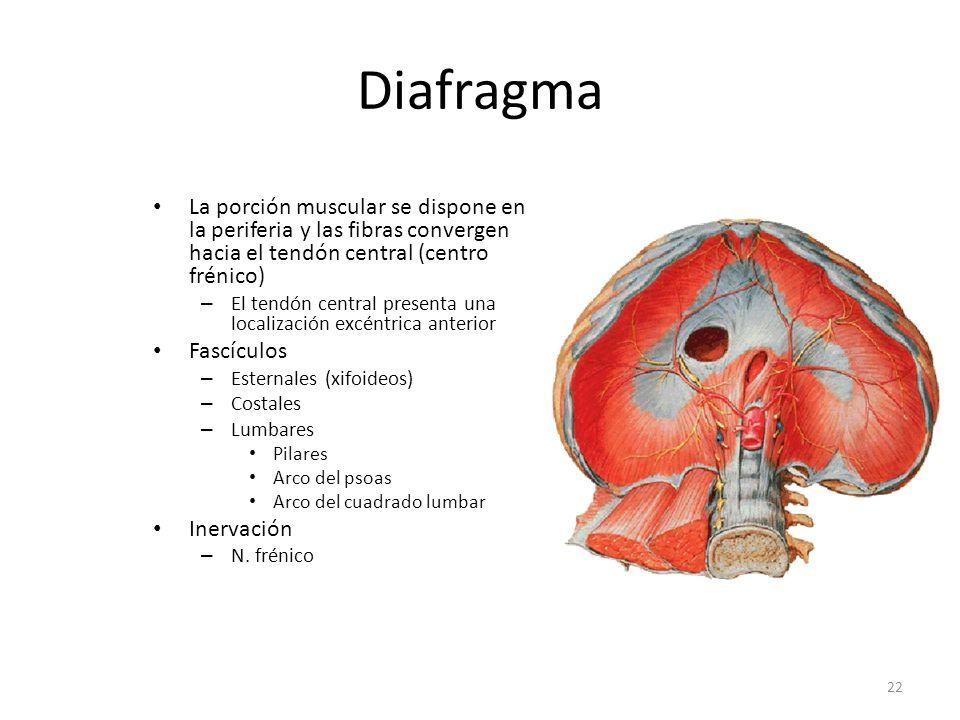 Diafragma La porción muscular se dispone en la periferia y las fibras convergen hacia el tendón central (centro frénico)