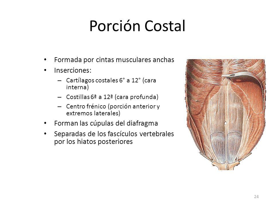 Porción Costal Formada por cintas musculares anchas Inserciones: