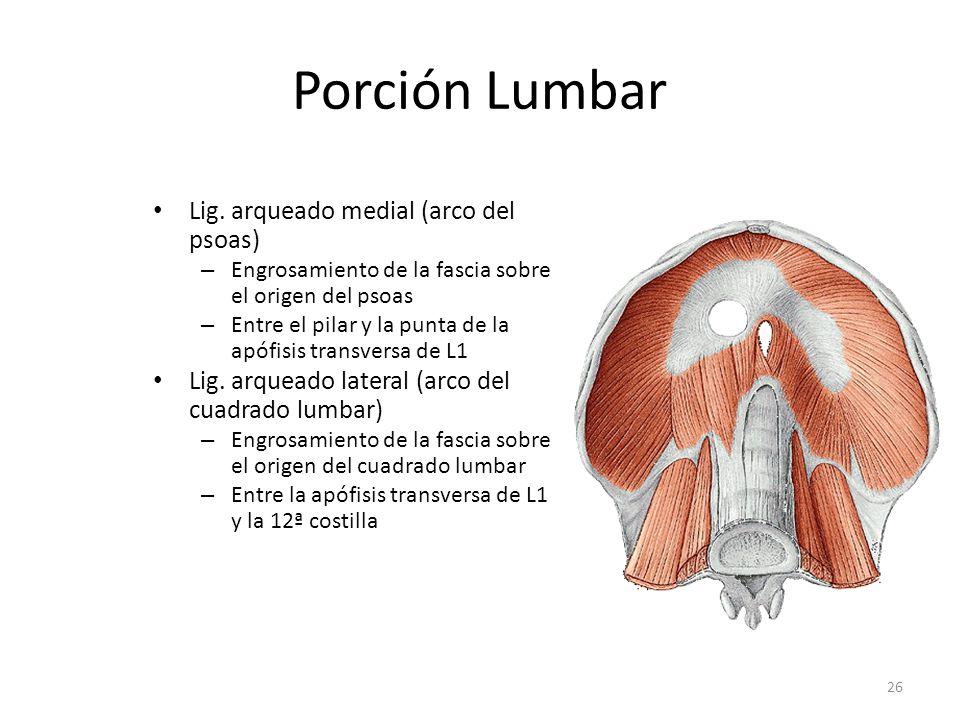 Porción Lumbar Lig. arqueado medial (arco del psoas)
