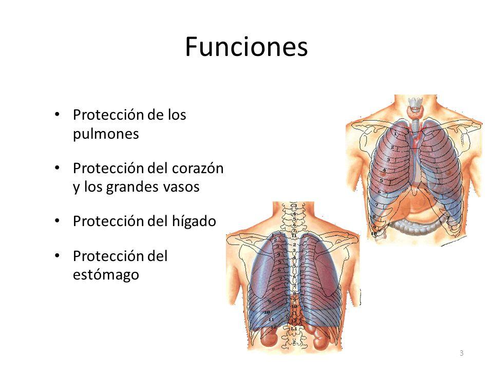 Funciones Protección de los pulmones