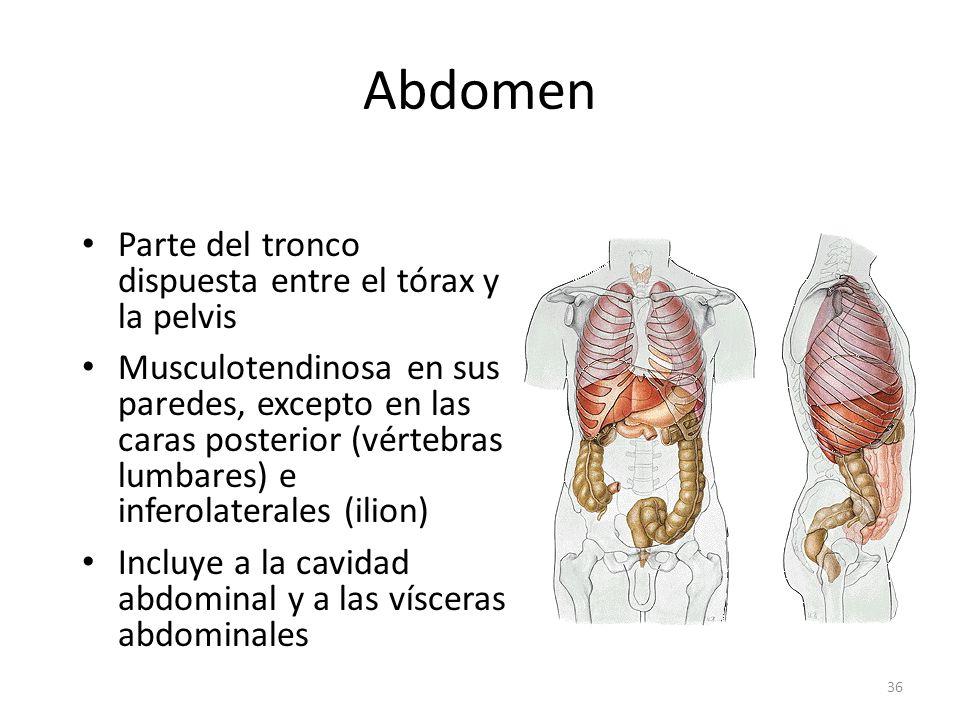 Abdomen Parte del tronco dispuesta entre el tórax y la pelvis