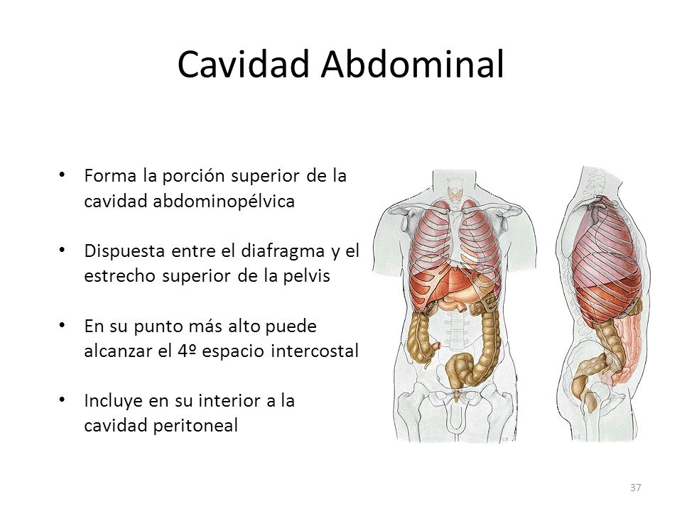 Cavidad Abdominal Forma la porción superior de la cavidad abdominopélvica. Dispuesta entre el diafragma y el estrecho superior de la pelvis.