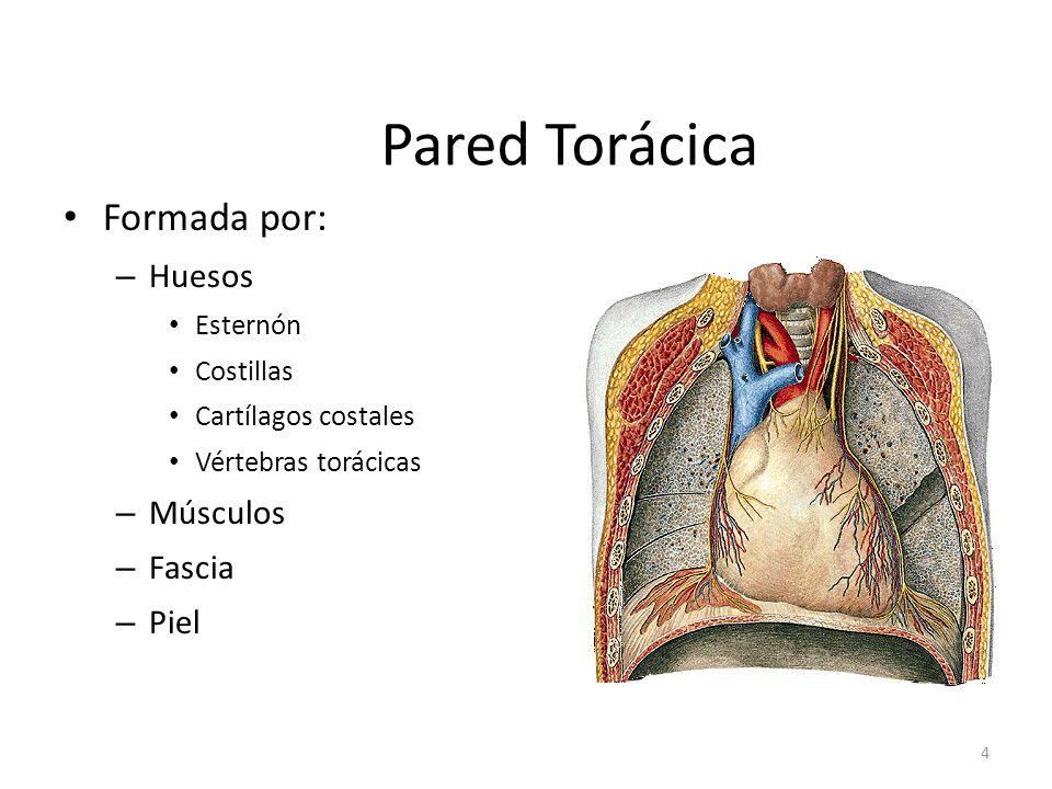 Pared Torácica Formada por: Huesos Músculos Fascia Piel Esternón