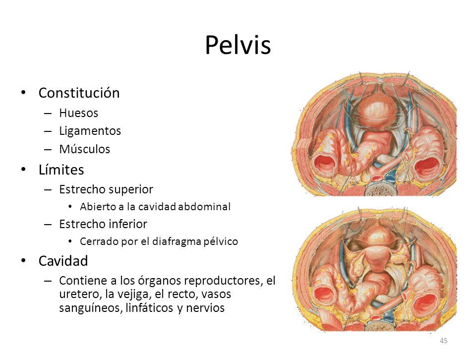 Pelvis Constitución Límites Cavidad Huesos Ligamentos Músculos