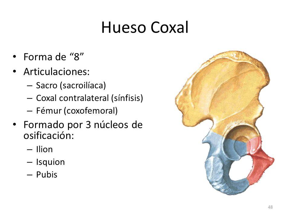 Hueso Coxal Forma de 8 Articulaciones: