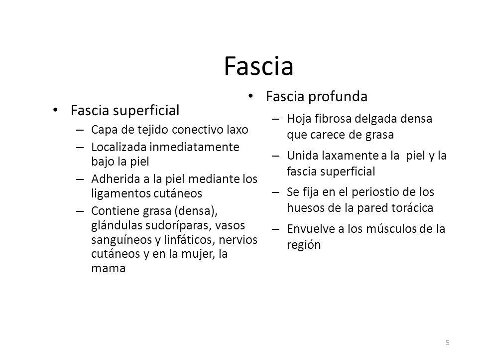 Fascia Fascia profunda Fascia superficial
