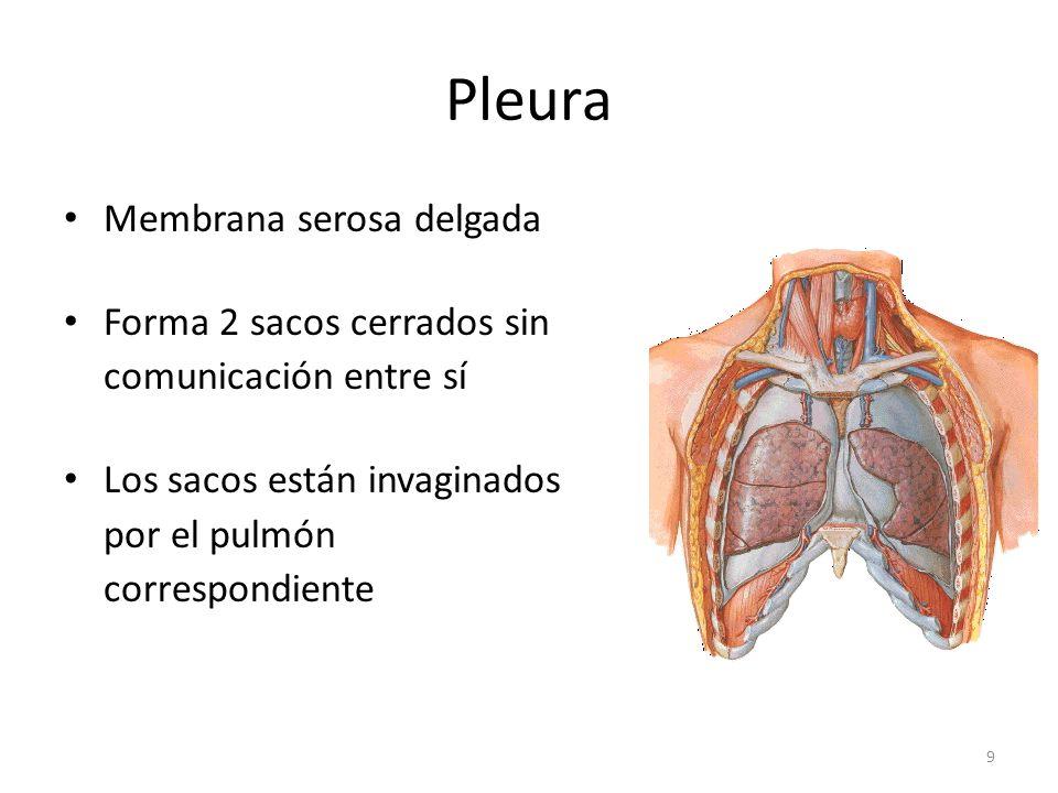 Pleura Membrana serosa delgada