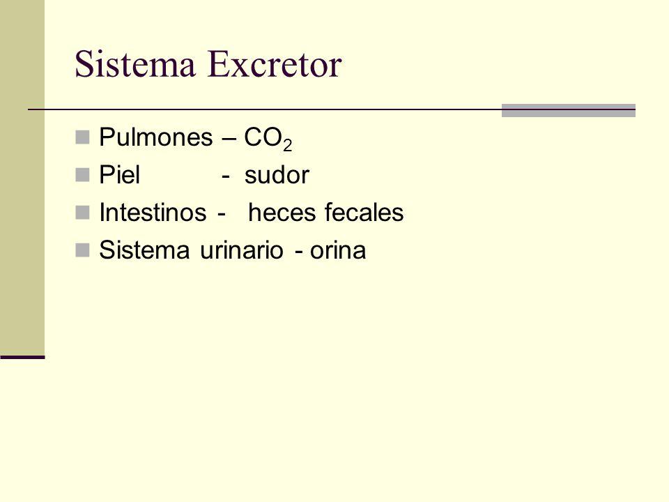 Sistema Excretor Pulmones – CO2 Piel - sudor