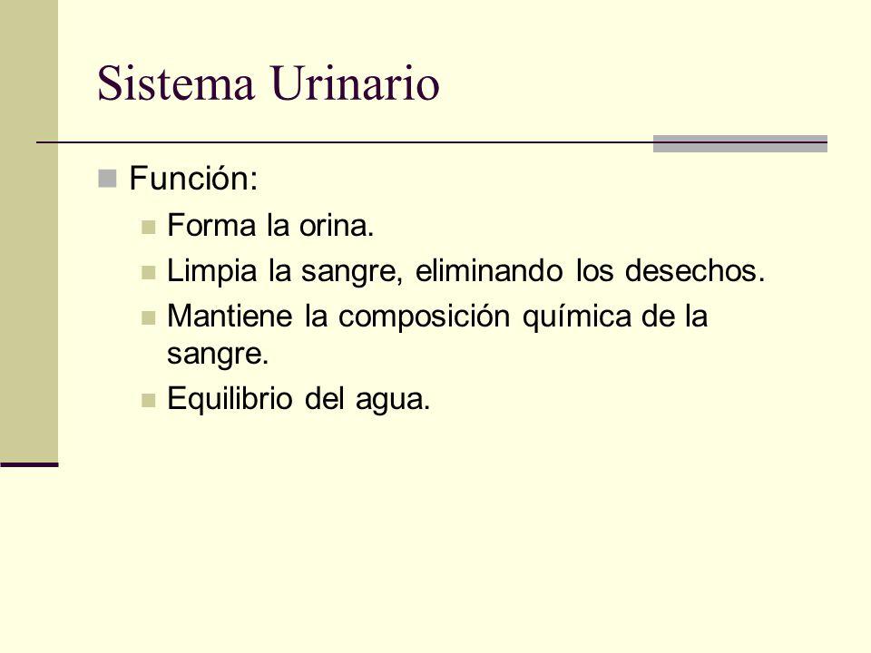 Sistema Urinario Función: Forma la orina.