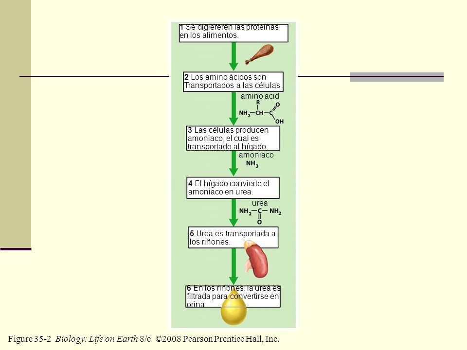 1 Se digiereren las proteínas