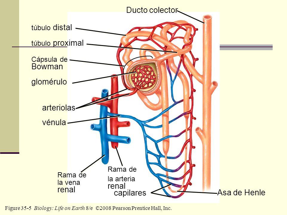 Ducto colector Bowman glomérulo arteriolas vénula renal renal