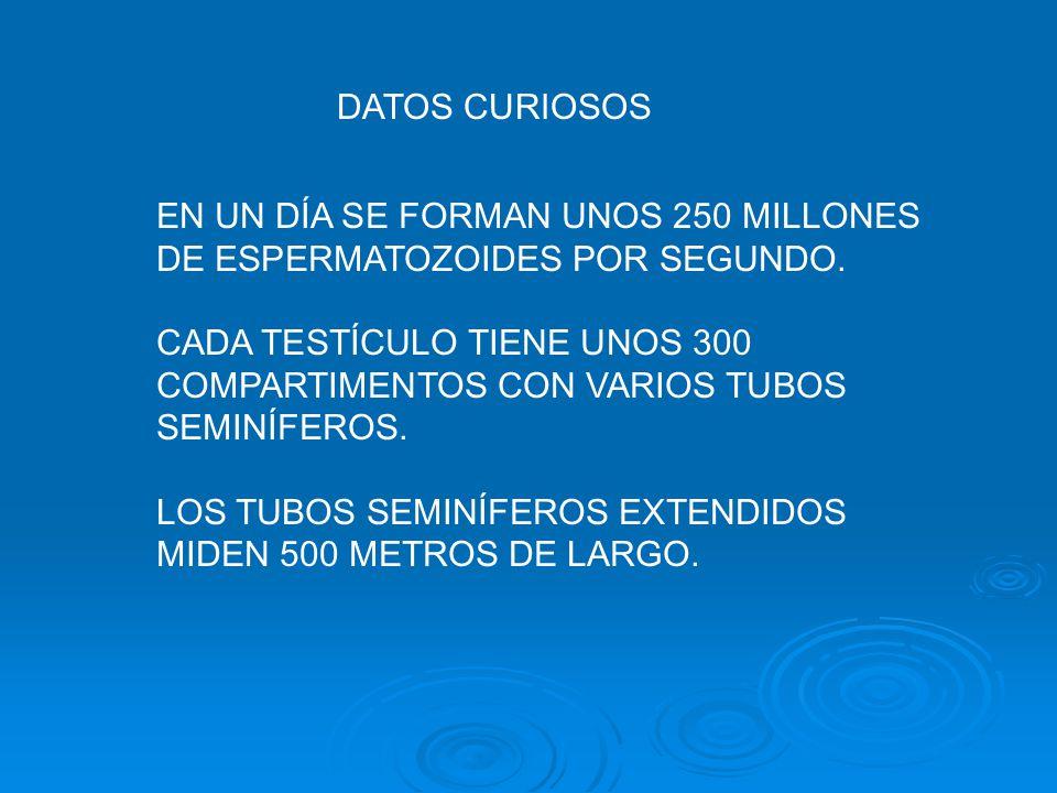 DATOS CURIOSOS LOS ESPERMATOZOIDES MIDEN CERCA DE 0.05 MILÍMETROS. CADA MILÍMETRO CÚBICO DE SEMEN CONTIENE DE 50 A 150 MILLONES DE ESPERMATOZOIDES.