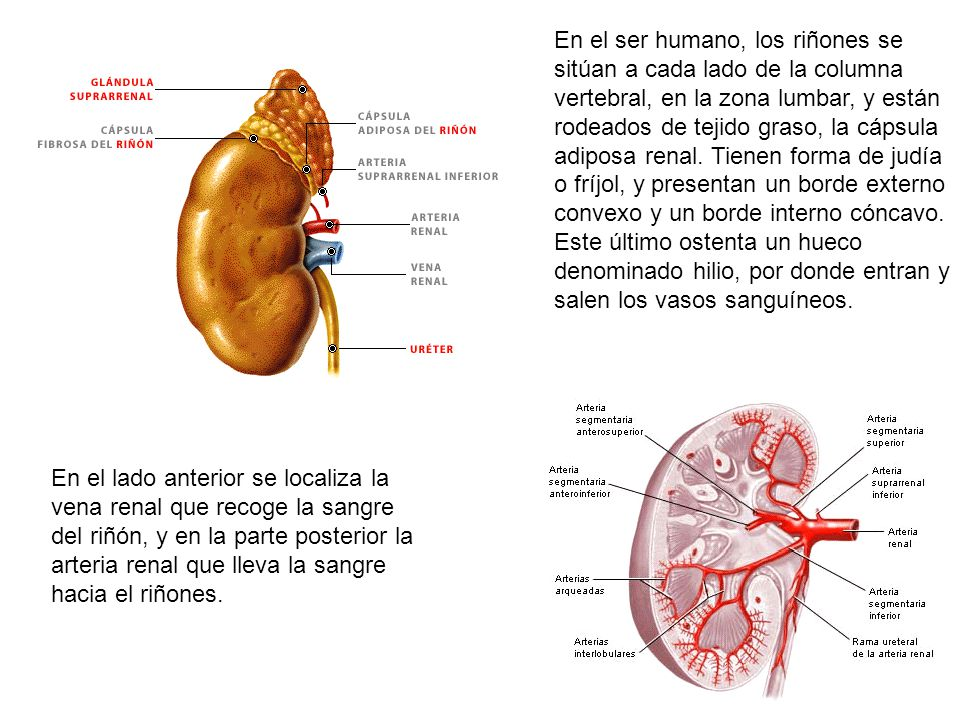 En el ser humano, los riñones se sitúan a cada lado de la columna vertebral, en la zona lumbar, y están rodeados de tejido graso, la cápsula adiposa renal. Tienen forma de judía o fríjol, y presentan un borde externo convexo y un borde interno cóncavo. Este último ostenta un hueco denominado hilio, por donde entran y salen los vasos sanguíneos.