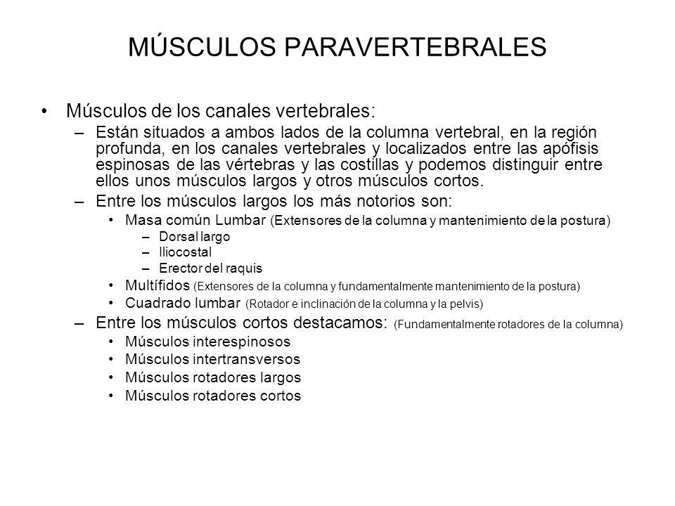 MÚSCULOS PARAVERTEBRALES