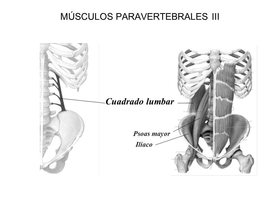 MÚSCULOS PARAVERTEBRALES III