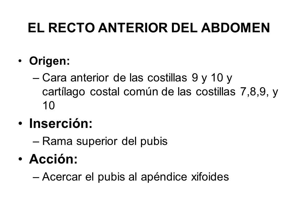 EL RECTO ANTERIOR DEL ABDOMEN