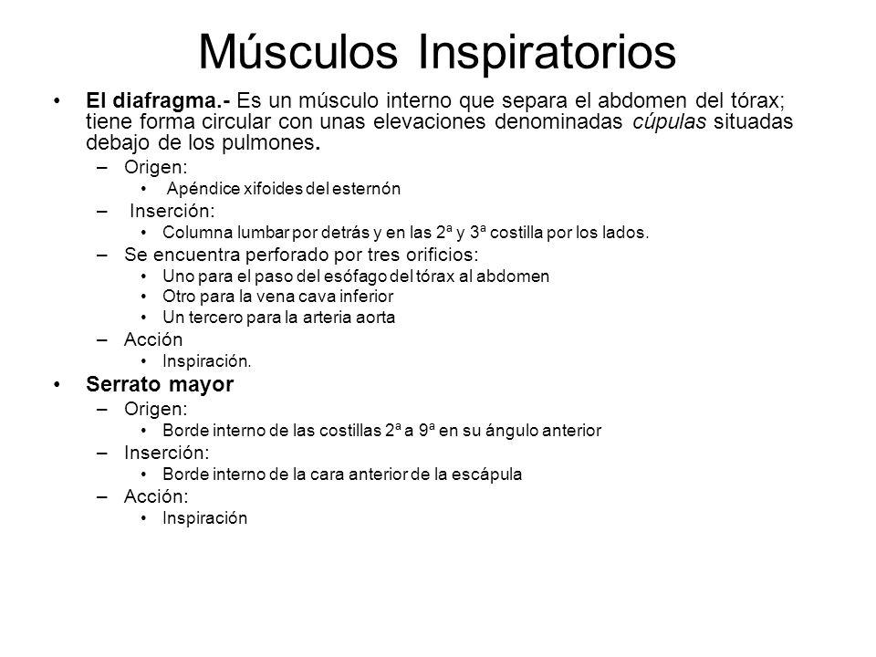 Músculos Inspiratorios